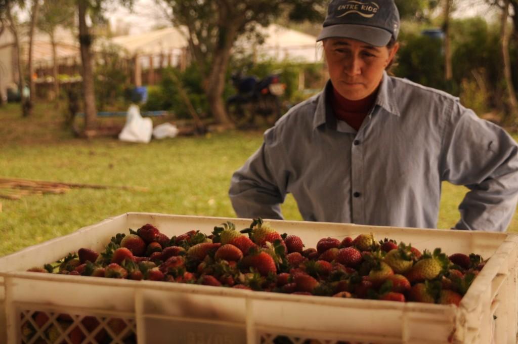Júlia e os morangos agroecológicos.