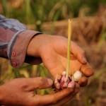 O fruto da terra e a mão que a cultiva