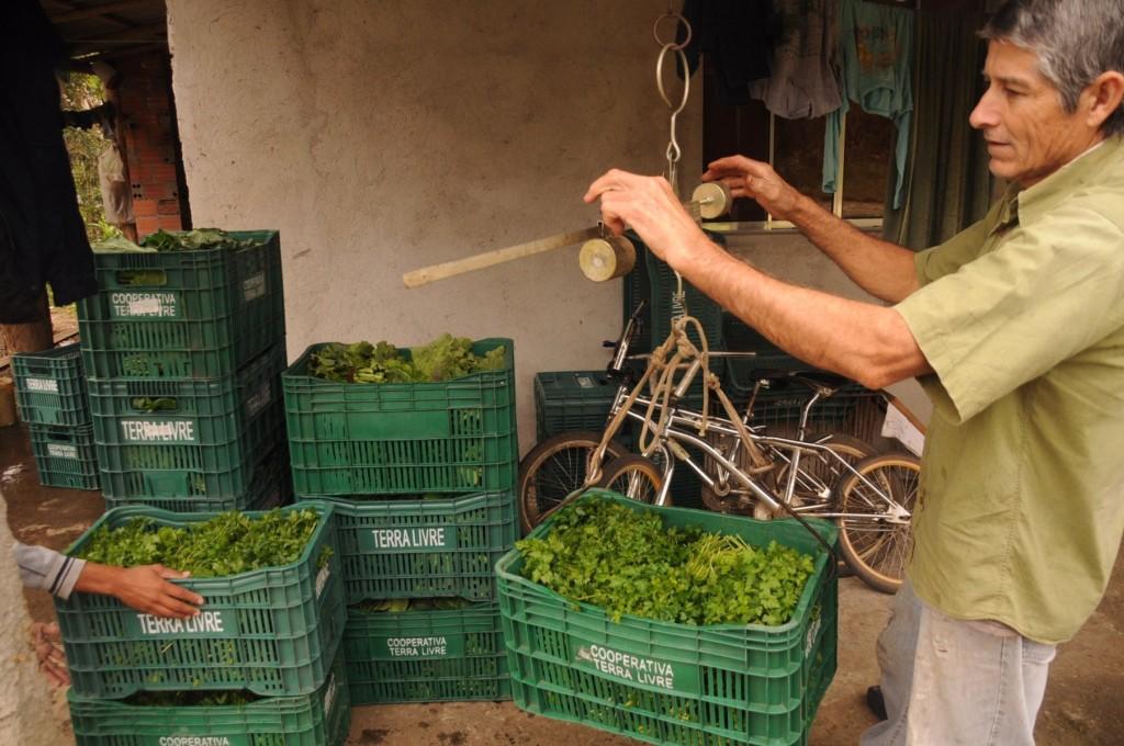 Israel pesando suas hortaliças antes de entregar para a cooperativa.