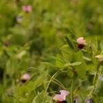 Flor da ervilha